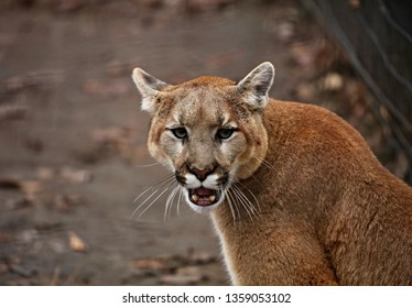 The cougar (Puma concolor), also commonly known by other names including catamount, mountain lion, panther and puma is American native animal. Picture taken in the ZOO.