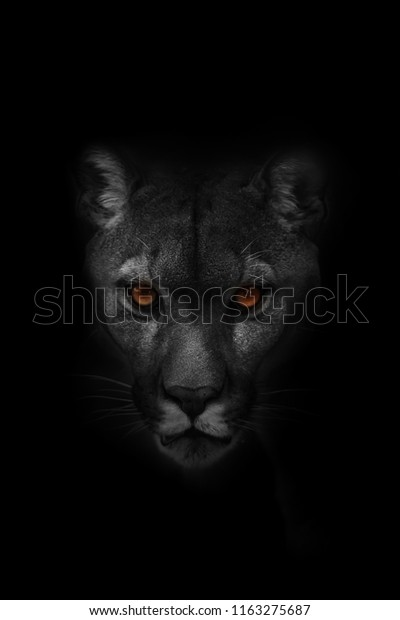cougar-puma-concolor-mountain-lion-600w-