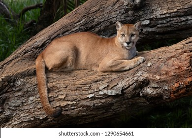 The cougar (Puma concolor) resting on a tree trunk.