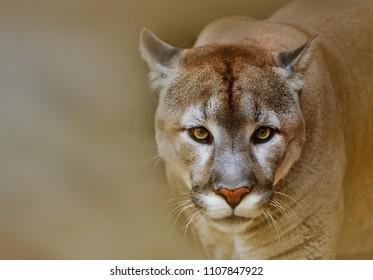 Cougar or puma is looking at camera