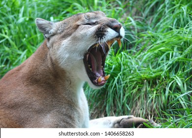 Cougar roaring or yawning on green grass