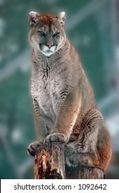 Cougar taken at a Wildlife Centre, Ontario Canada