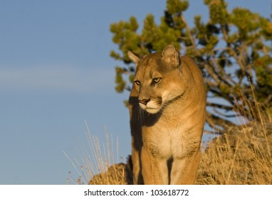 A Cougar at the top of the world in the Rockies