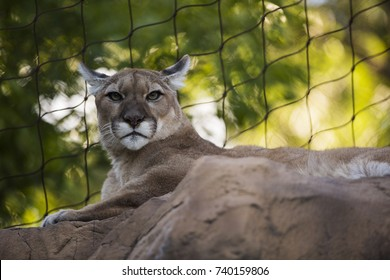 Cougar in a zoo.