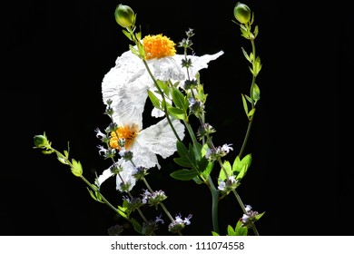 Coulter's Matilija Poppy is the largest native flower to California