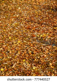 Countless autumn leaves cover the surface of the Kishwaukee River in northern Illinois
