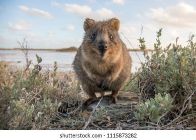 Country: Australia, Rottnest island Date: June 2018 Description: Quokka: The Happiest Animal On Earth