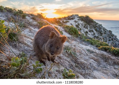 Country: Australia, Rottnest Island Date: June 2018 Description: Quokka at sunset
