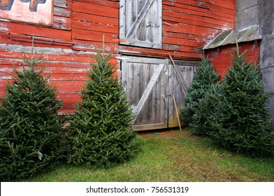 Country Barn and Fraser Fir Trees