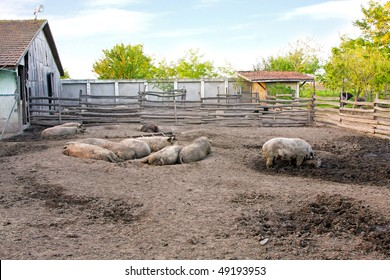 Country courtyard with pigs rolling in mud