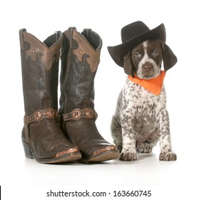 country dog - german shorthaired pointer wearing western hat sitting beside western boots isolated on white background - 7 weeks old