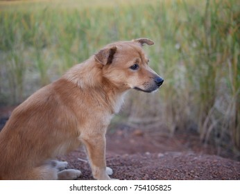 Country Dog and Rice Plant in Farm