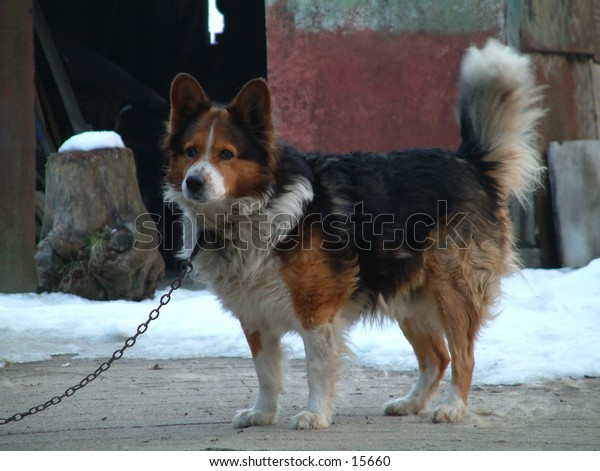 country dog in winter