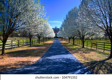 Country estate with spring pear blossoms in bloom.