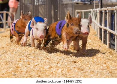 Country Fair Baby Pig Race