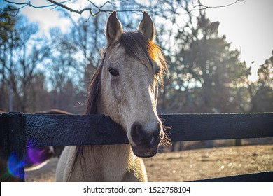 Country horse over black fence