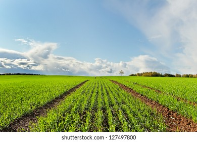 Country landscape with growing wheat.