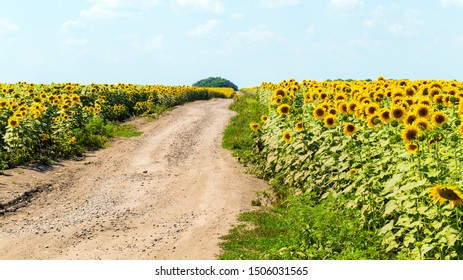 Country landscape with sunflowers fields and dirt road