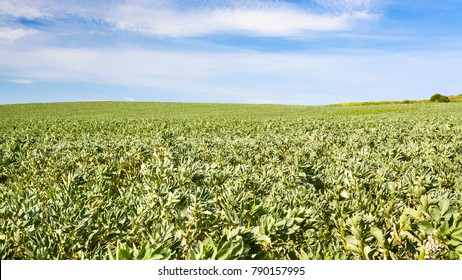 country landscape - view of vicia faba (bean) field in Pas-de-Calais region of France in summer day