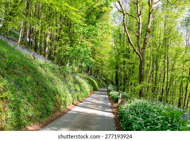A country lane leading through bluebell woods nd lined with wild garlic near Looe in Cornwall