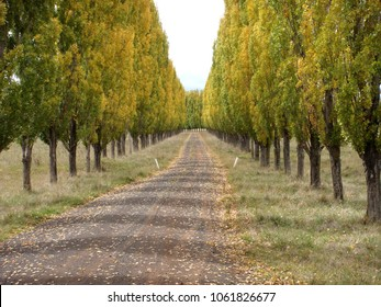 Country lane with long row of poplar trees, Tenterfield New South Wales, Australia