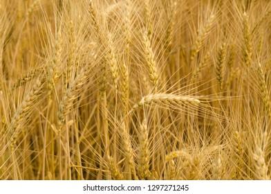 Country life. Wheat. Ukraine.