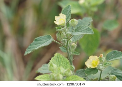 Country Mallow or Flannel Weed, Sida cordifolia