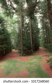 The country path divided covered with pine needles and with space for text