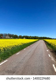 Country road among rapeseed field a spring day with clear blue sky and green trees along the skyline.