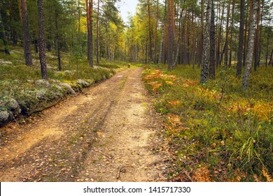Country road in the autumn forest. Beautiful autumn forest with birches, pines, gray moss, ferns, yellow leaves and sandy road. Belarusian forest. Mixed forest of Central.