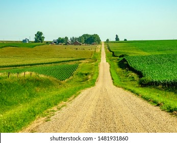 Country road between fields of corn (maize), with cattle grazing some distance from a farmstead, on a sunny July morning in western Iowa, USA, for agricultural, rural, or regional themes