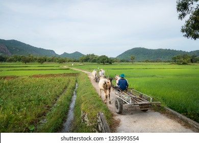 Country road in Chau Doc, Mekong delta, Vietnam, with ox wagon moving on the road