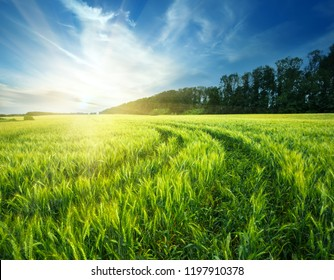 Country road in a field with ears of wheat under sun. Summer landscape.