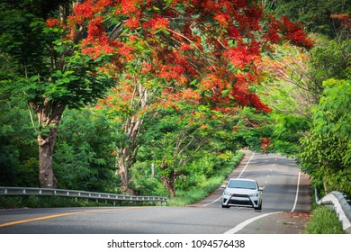Country road with Peacock flower tree