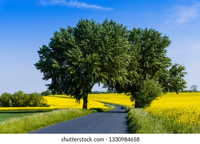 Country road in spring with flowering rapeseed fields and trees