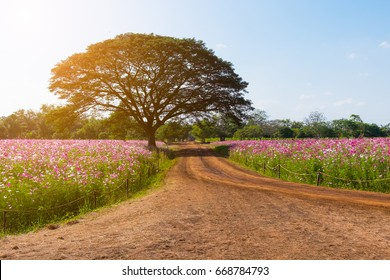 Country road through the cosmos flowers field with lonely tree