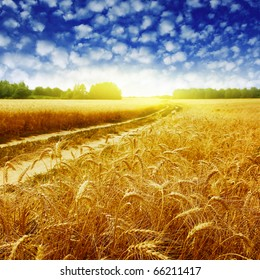 Country road in wheat field at sunset.