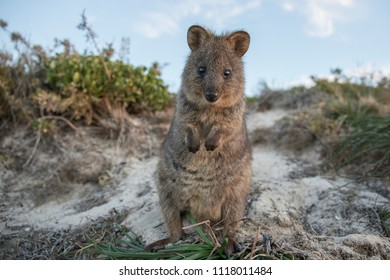 Country: Rottnest Island (Australia) Date: June 2018 Description: Quokka