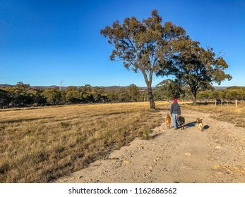 Country scene on Australian rural property. Farmer is walking her dogs on a dirt road on the cattle property.  Area is in drought. Darling Downs, Australia.
