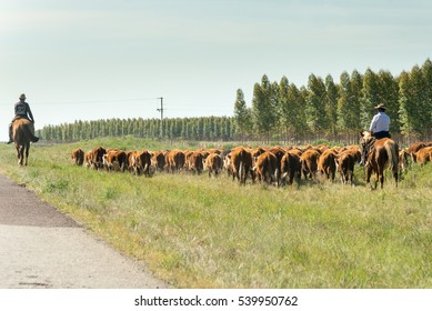 A countryman gathers and leads the cattle next to the road