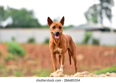 The country's native breed dog set ears, which look friendly