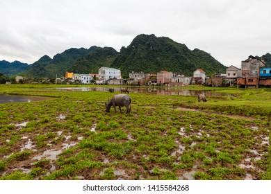 Countryside around Phong Nha, Vietnam, buffalo grazing on the field