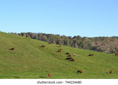 countryside cattle