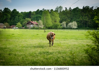 countryside europe,  curious cow is comming