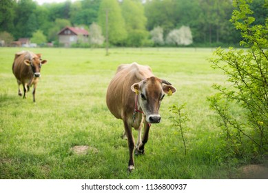 countryside europe,  curious cows are comming
