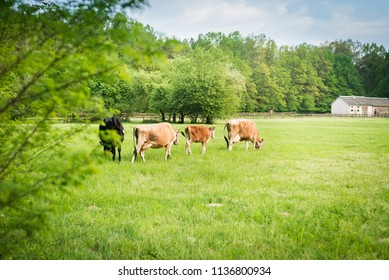 countryside europe at sunrise with grazing cows in the foregroun