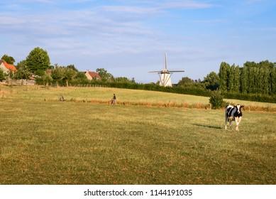 Countryside in Flemish Ardennes. Cow in field. People walking or hiking. White wind mill (Tiegem Molen or Bergmolen Stampersmolen) in background in small village Tiegem, Anzegem. Flanders, Belgium.