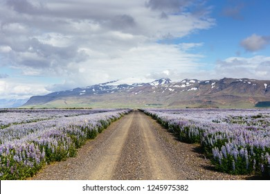 Countryside gravel road with spectacular wide angle view on purple lupin flowers field and mountains with snowy peaks. Southern region of Iceland.