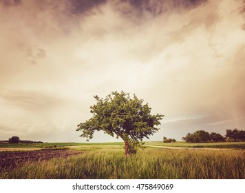 Countryside landscape with alone tree in grass field, Poland