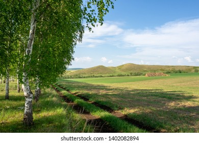 Countryside landscape. Birchwood, hills and a dirt road running along the field.